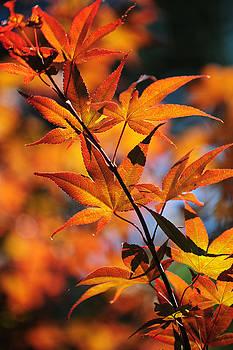 Jenny Rainbow - Japanese Maple. Vertical