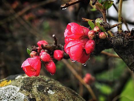 Japanese quince by Susie Peek