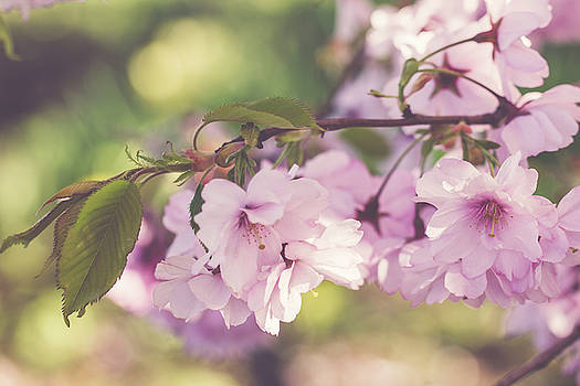 Japanese tree in bloom by Cindy Grundsten