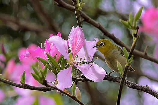 Japanese White-Eye On Pink Bauhinia by Janet Pancho Gupta