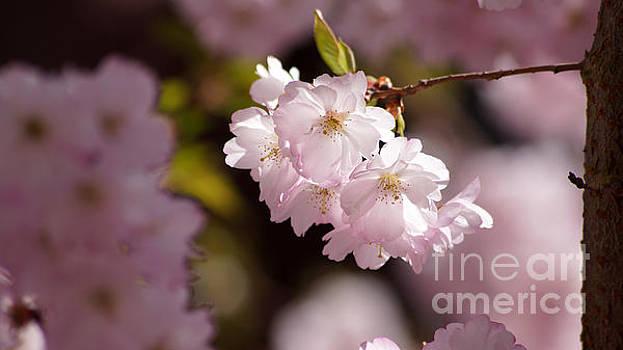 Japanese wild cherry by Eva-Maria Di Bella