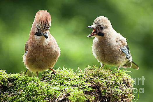 Simon Bratt Photography LRPS - Jay bird mother with young chick
