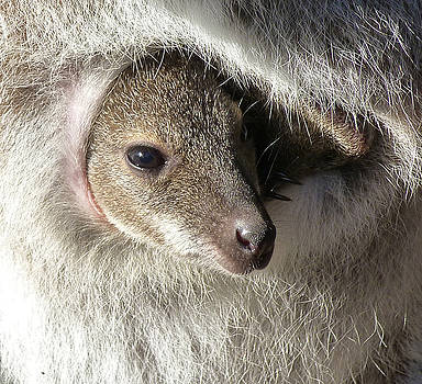 Joey In Pouch - Red-necked Wallaby by Margaret Saheed
