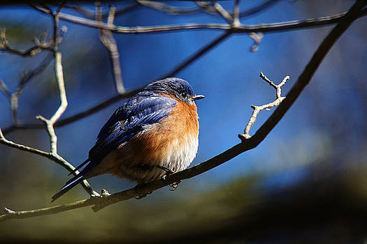 Juicy Male Eastern Bluebird by Robert L Jackson