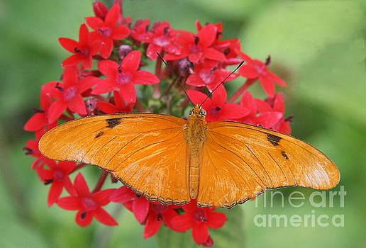 Julia Butterfly in the flowers by Myrna Bradshaw
