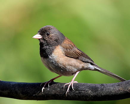 Wingsdomain Art and Photography - Junco