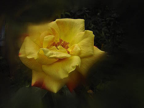June 2016 Rose No. 1 by Richard Cummings