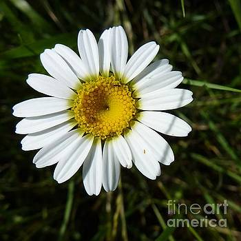 Just a Daisy by Jean Bernard Roussilhe