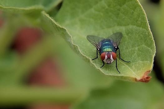 Just A Fly by Scott Holmes