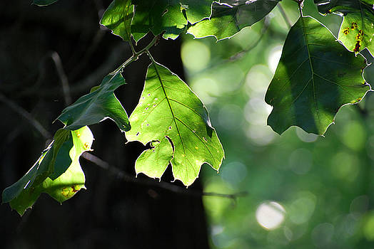 Just a leaf by Charles Bacon Jr