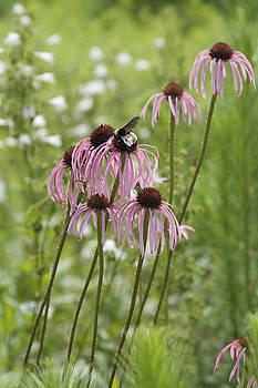 Just Visiting - bee on coneflowers by Jane Eleanor Nicholas