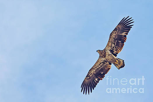 Juvenile Bald Eagle by Natural Focal Point Photography