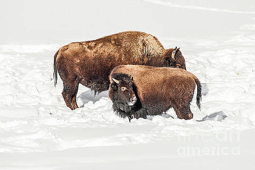 Juvenile Bison with Adult Bison by Sue Smith