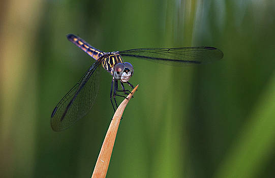 Juvenile Blue Dasher by Ruth Jolly