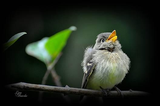 Juvenile Flycatcher by Lynn Bawden