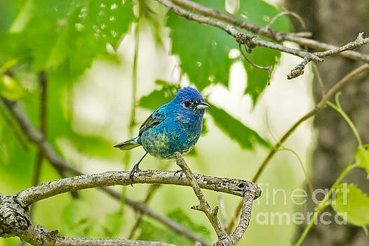 Juvenile Indigo Bunting by Natural Focal Point Photography