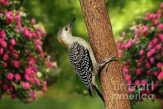 Juvenile Red Bellied Woodpecker by Darren Fisher