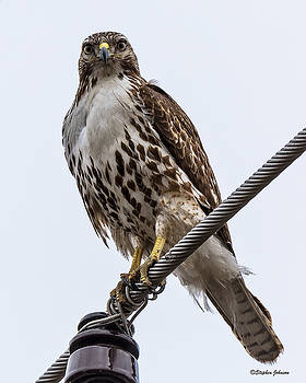 Juvenile Red-tailed Hawk on Raptor Road by Stephen Johnson