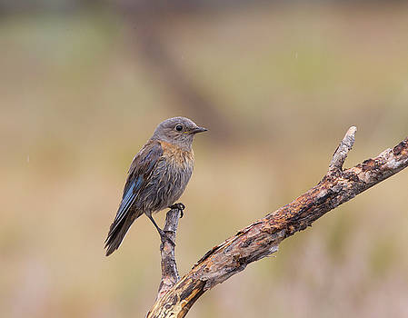 Juvenile Western Bluebird by Doug Lloyd