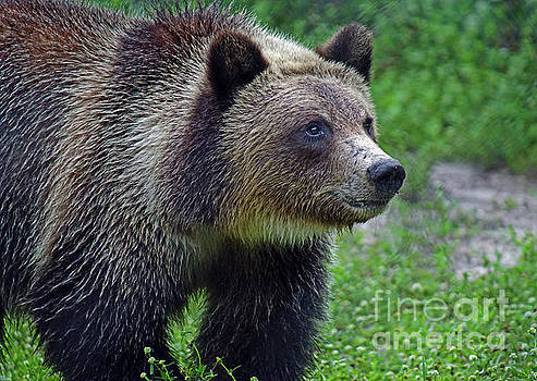 Juvie Grizzly by Larry Nieland
