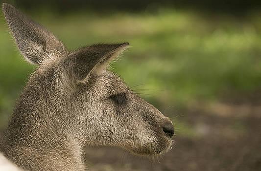 Kangaroo by Michel DesRoches