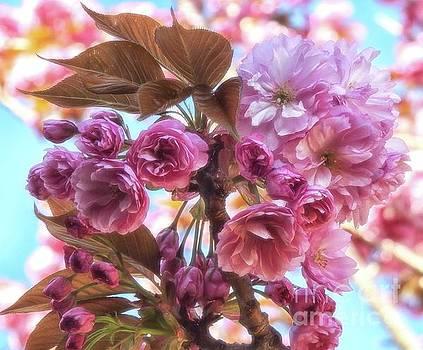 Kanzan Cherry Tree by Peggy J Hughes