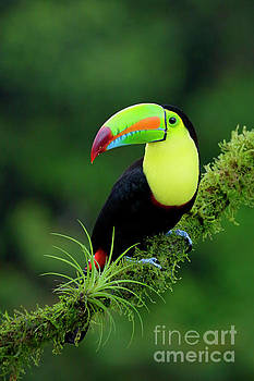 Keel-billed Toucan by Juan Carlos Vindas