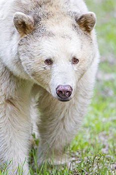 Kermode Bear Portrait by Brandon Broderick