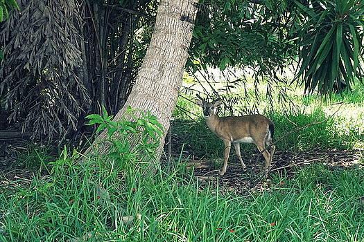 Laurie Perry - Key Deer