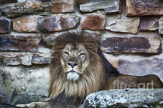King Lion by Douglas Barnard