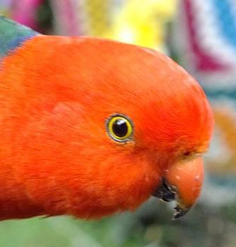 King Parrot  by Sandra Sengstock-Miller