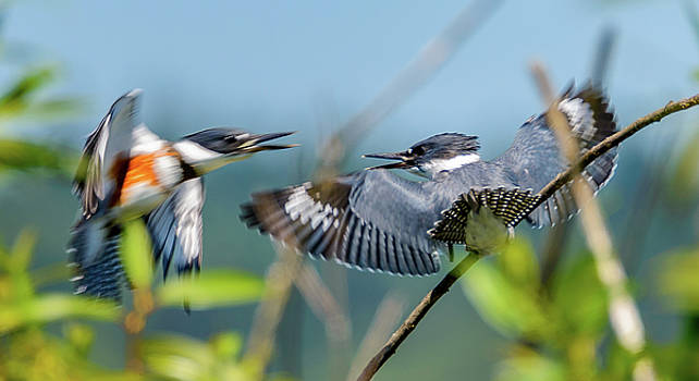 Kingfisher Disagreement by Jerry Cahill