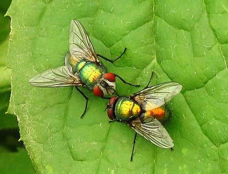 Kissing Flies by Lori Frisch
