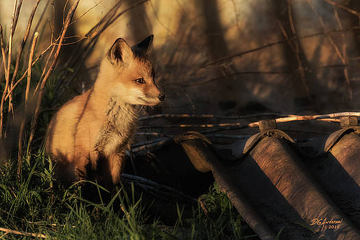 Kit fox sunset by Don Anderson