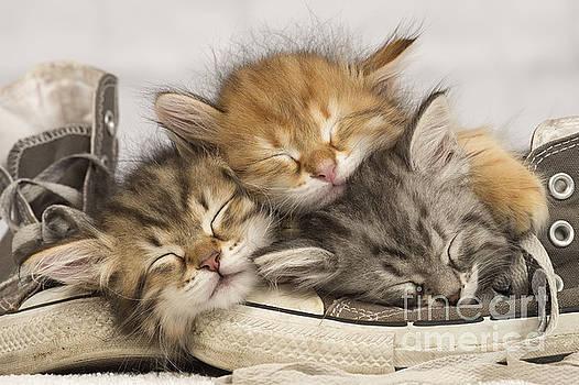 Jean-Michel Labat - Kittens Asleep On Shoes