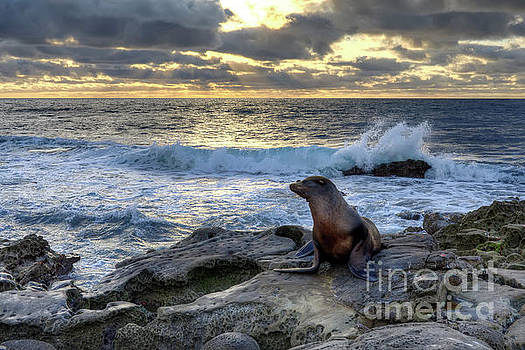 La Jolla Sea Lion by Eddie Yerkish