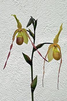 Byron Varvarigos - Lady Slipper Orchid