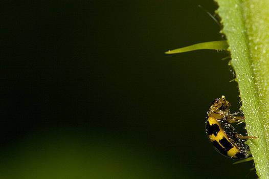 Ladybug by Jouko Mikkola