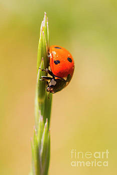 Ladybug by Steve Triplett