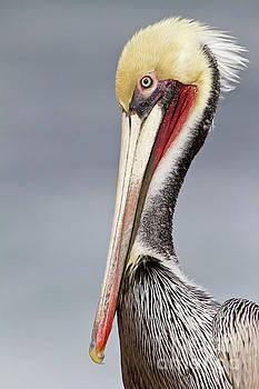 La Jolla Pelican by Bryan Keil