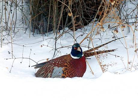 Lake Country Pheasant 2 by Will Borden