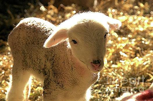 Lamb all aglow by Carole Martinez