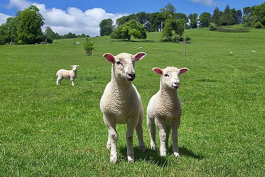 Lambs In Summertime by Susie Peek