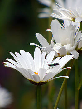 Large Daisies with Bug by Lynn Bolt