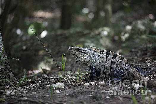 Large Iguana in Nature by Brandon Alms