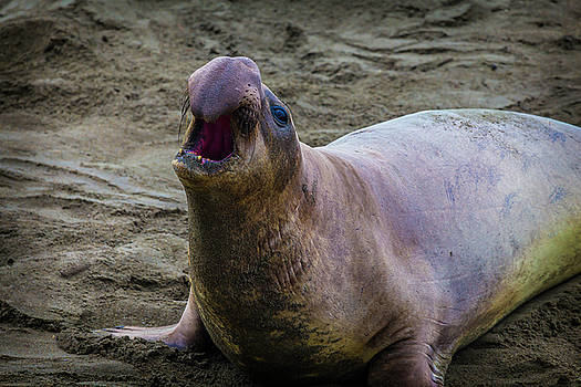 Large Male Elephant Seal by Garry Gay