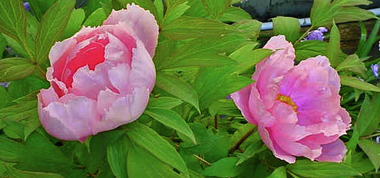 Large Pink Peonies by Jay Milo