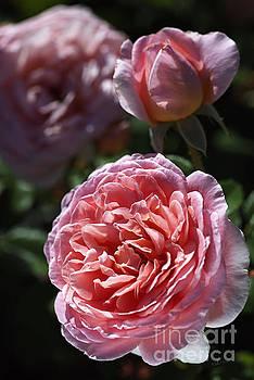 Late Summer Rose  by Joy Watson