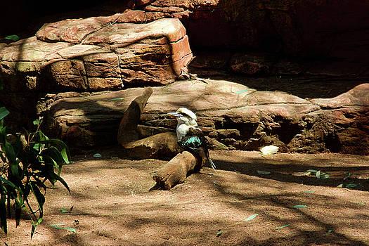 Laughing Kookaburra Sitting On A Log by Miroslava Jurcik