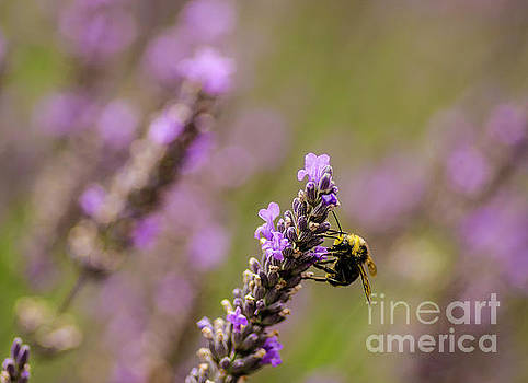 Lavender And Bee by Nick Boren